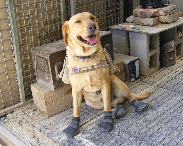 An Arms and Explosives search dog used for detection of IEDs in Afghanistan, 2006