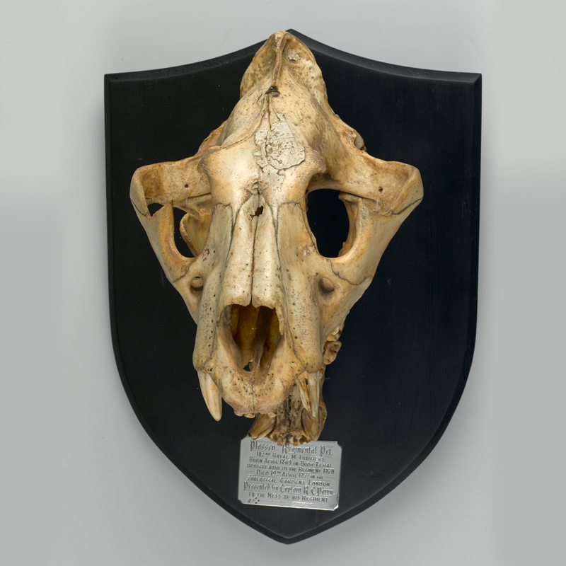 Mounted skull of Plassey the Tiger, 1877