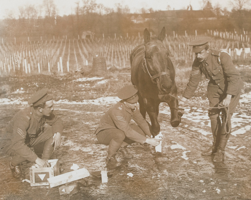 Army Veterinary Corps treating a wounded horse, c1916