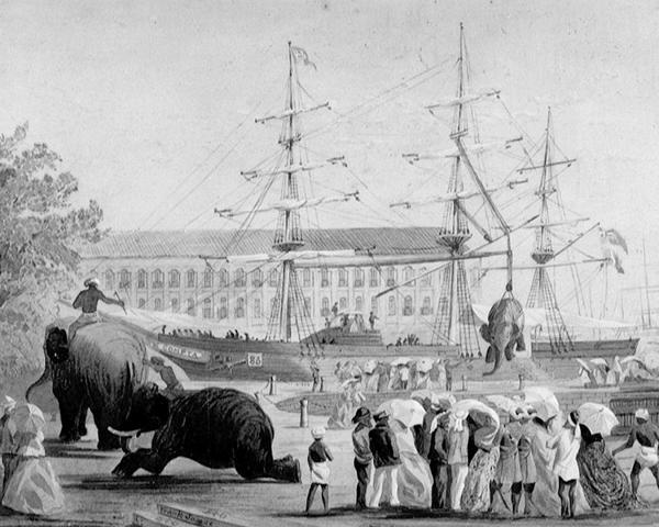 Loading elephants on to the ships for the expedition, 1868