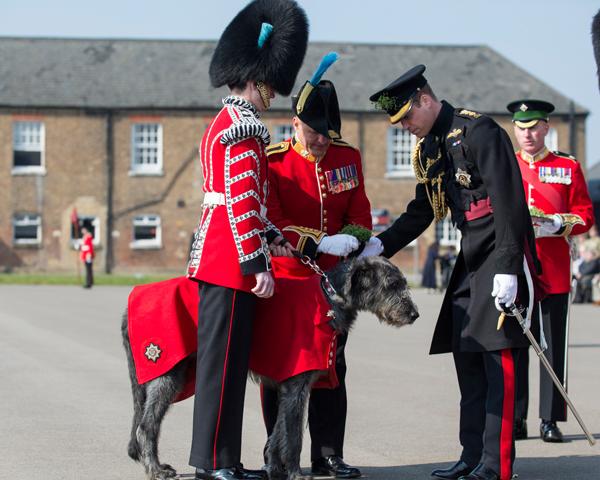 'Domhnall' the Irish Wolf Hound, mascot of the Irish Guards, meets the Duke of Cambridge, 2016