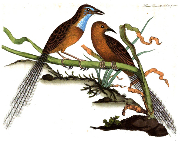 'Muscicapa malachura, a new species from New South Wales', c1798
