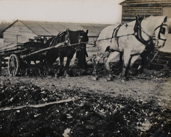 Horses pulling a wagon loaded with timber, c1916