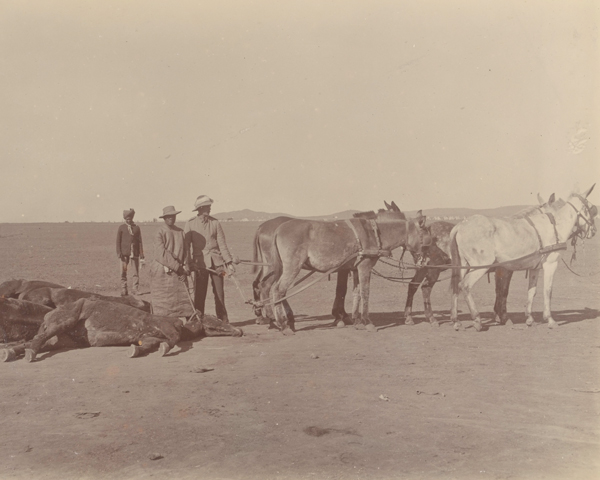 Dead and dying horses in South Africa, c1900