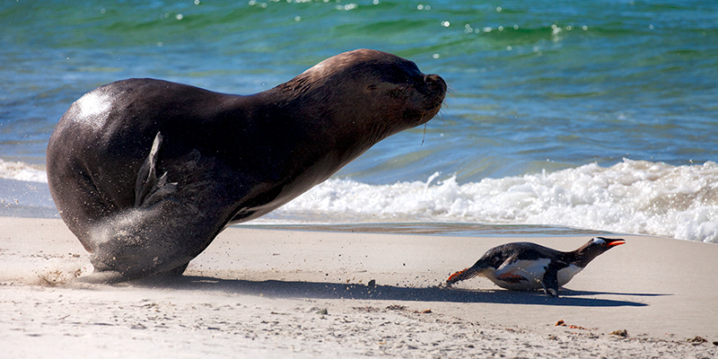 Seal and penguin on the beach, Falkland Islands