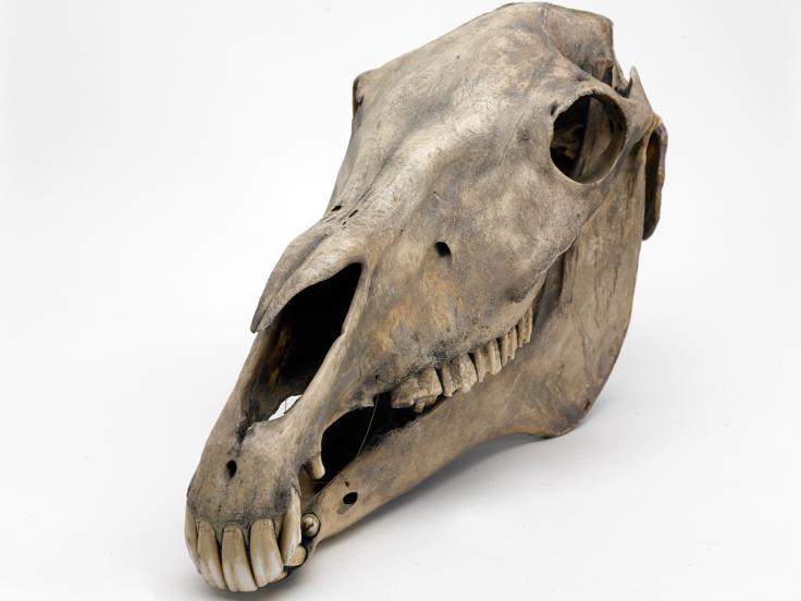 Marengo's skull