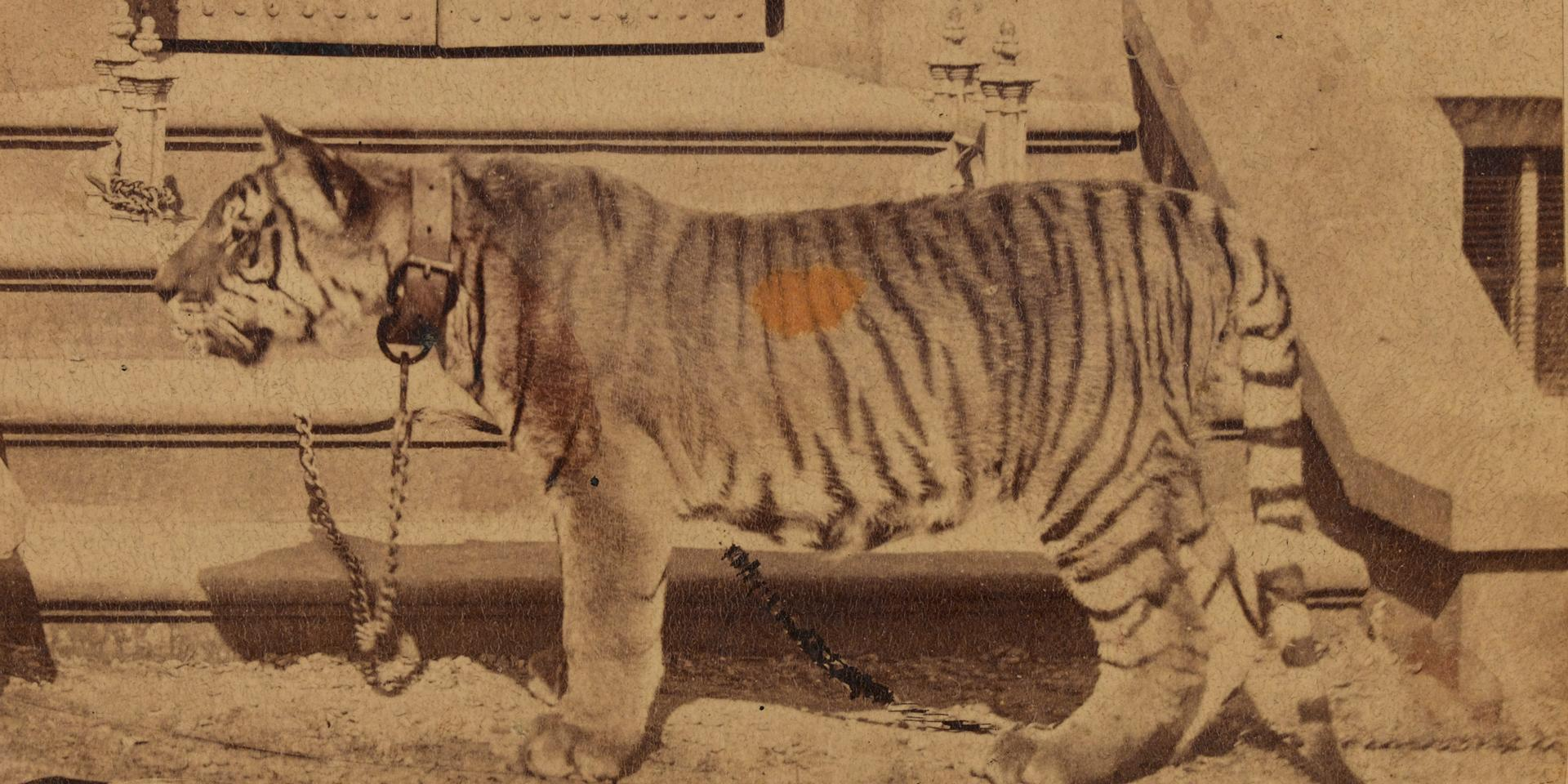 Plassey the tiger of the Royal Madras Fusiliers in 1870