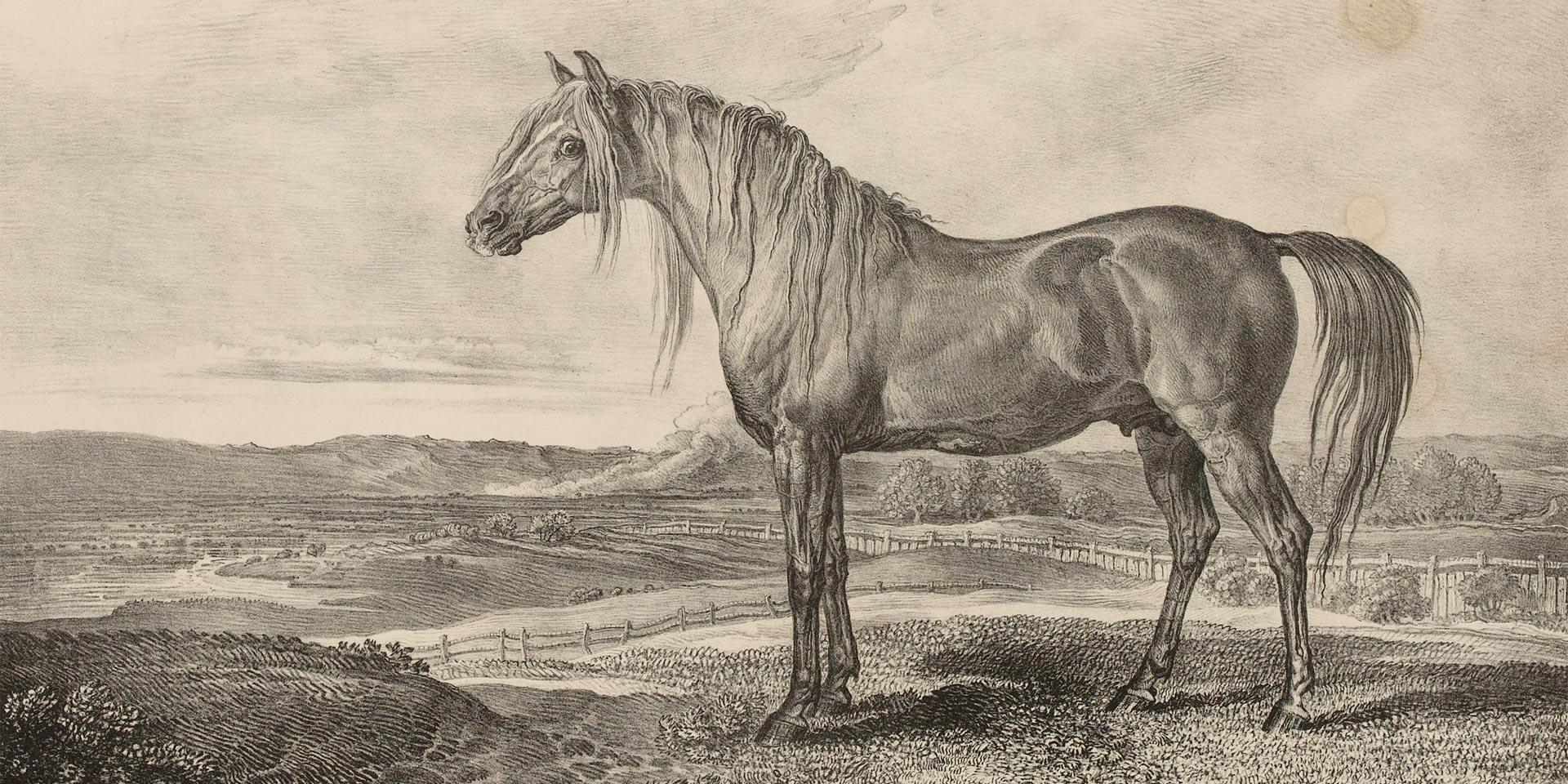 Copenhagen, the horse rode by the Duke of Wellington, 1824