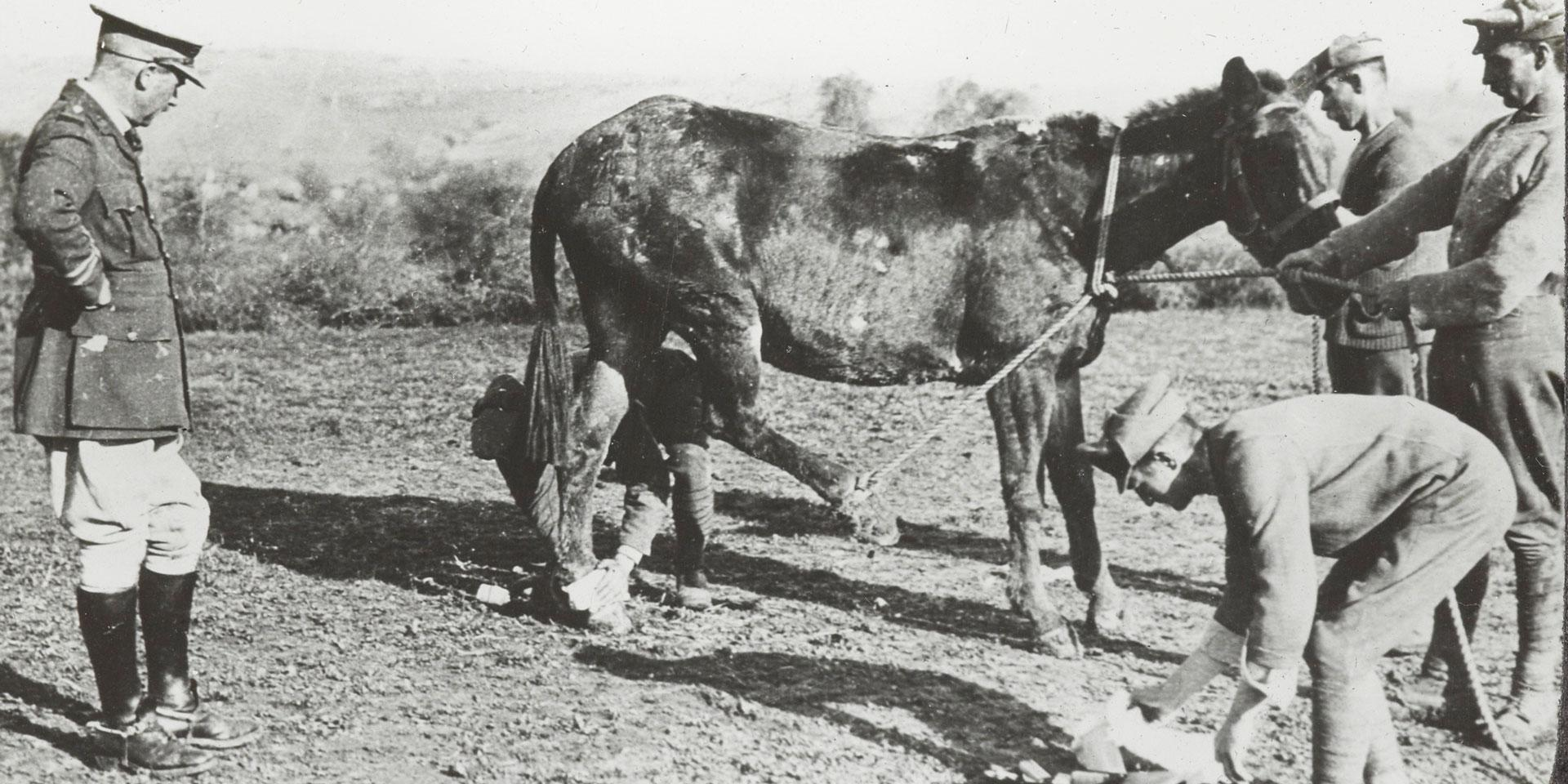 A veterinary section attending to a wounded mule in Salonika, 1916