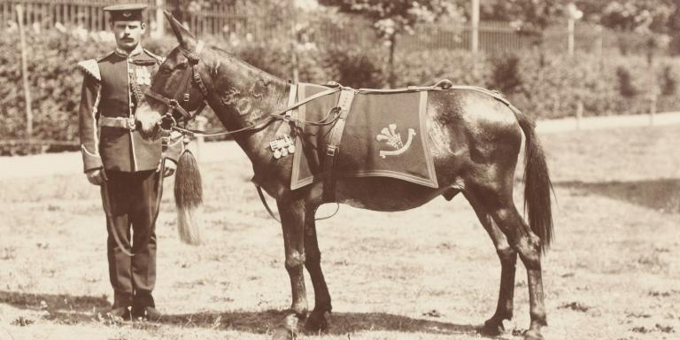 Jimson the mule in Portsmouth, 1904